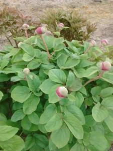 Paeonia daurica subsp. coriifolia hybrid 001