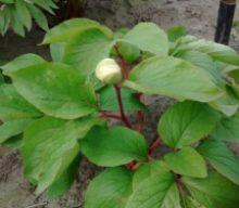 Paeonia mascula subsp. bodurii