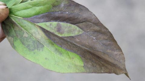 Foliar nematodes in peonies