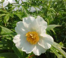 Early Windflower
