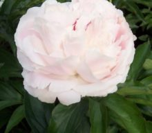 Peonies for the masses