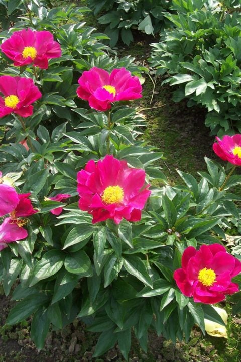 Growing Fine Peonies Almost Anywhere The Peony Society