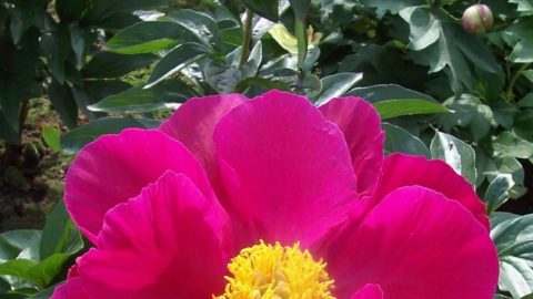 Growing fine peonies almost anywhere