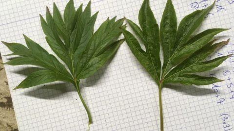 P. emodi or a Windflower?