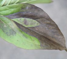 Foliar nematodes – the movie
