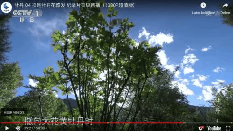 Peonies on China TV