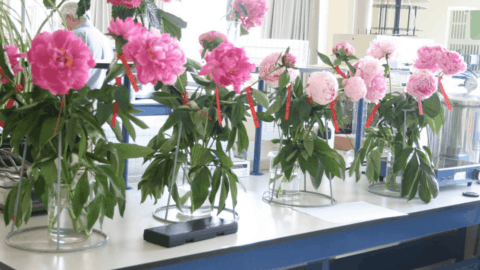 Ultra Low Oxygen (ULO) storage of peonies
