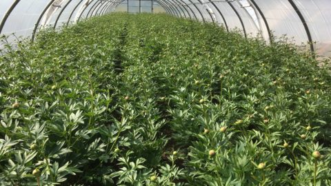 Early forcing of peonies