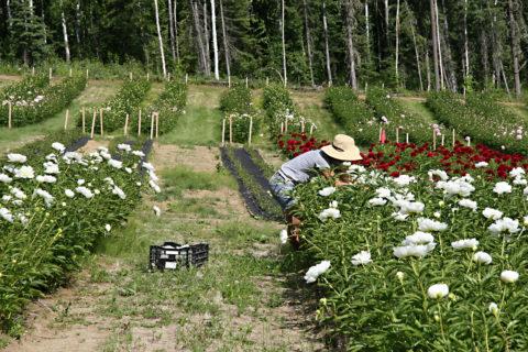 Far North Flowers, Fairbanks, Alaska photoby Pat Holloway