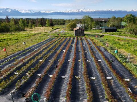 Frosty Acres Peonies, Homer, Alaska