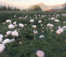 Peonies as field grown cut flowers in Alaska