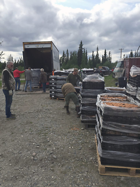 Crates of roots arriving at North Pole Peonies, North Pole, Alaska