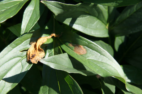 Botrytis infection on leaves from petals stuck to the leaf. Photo by Pat Holloway