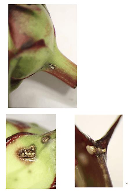 Lygus bug eggs on bottom of flower bud Photo by Dr Beverly Gerdeman, Washington State University, Mount Vernon