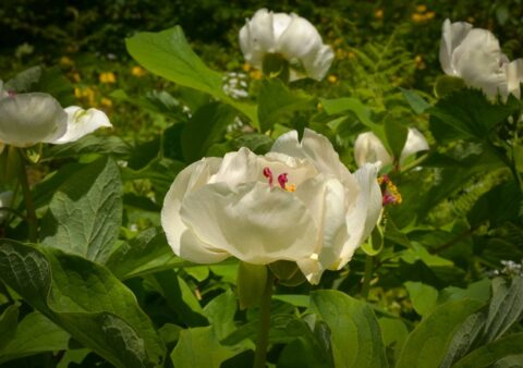Paeonia wittmanniana in Georgia, Samegrelo Province - Copyright Ruslan Mishustin