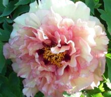 Peonies from seed