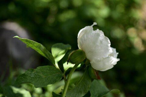 Paeonia arietina ssp arasicola. Copyright by Yıldız Konca.