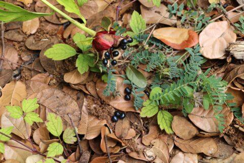 Paeonia sterniana. Copyright Yong Yang