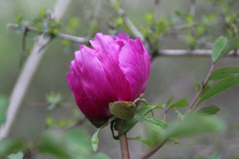 Copyright Yong Yang. Paeonia rotundiloba