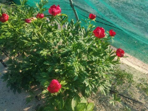 Paeonia peregrina. Copyright Koen Hurtekant