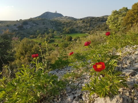 """Copyright Liberto Dario. Paeonia peregrina on Lefkada island (Greece). Full sun and limestone scree for this redder than red species that also appears on the mainland and in less harsh conditions."""""""