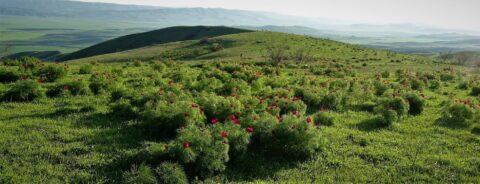 "Copyright: Panayoti Kelaidis. ""Paeonia tenuifolia, far eastern Georgia."""