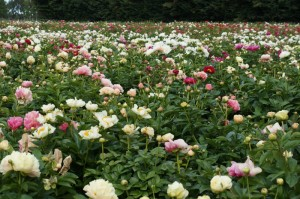 Peony seedling field in New Zealand