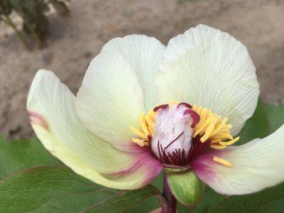 P. mascula ssp bodurii