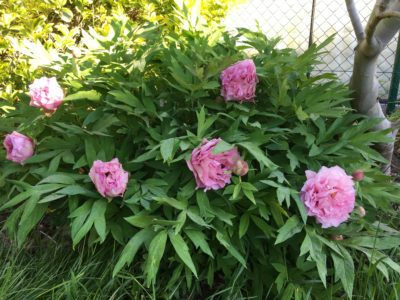 Waucedah Princess shrub