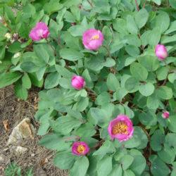 coriacea – hendrik bogaert