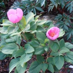 coriacea – hendrik van bogaert