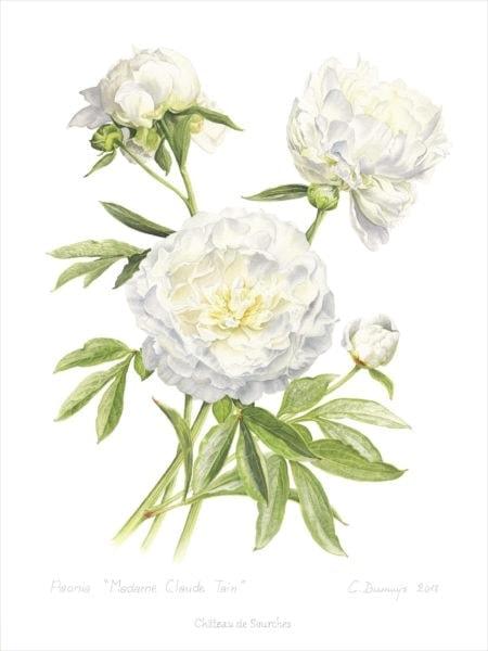 C.Dumuÿs-Paeonia Madame Claude Tain