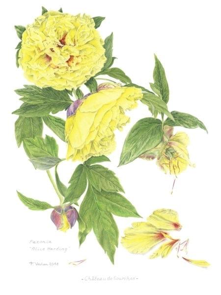 F. Vadon- Paeonia Alice Harding 18