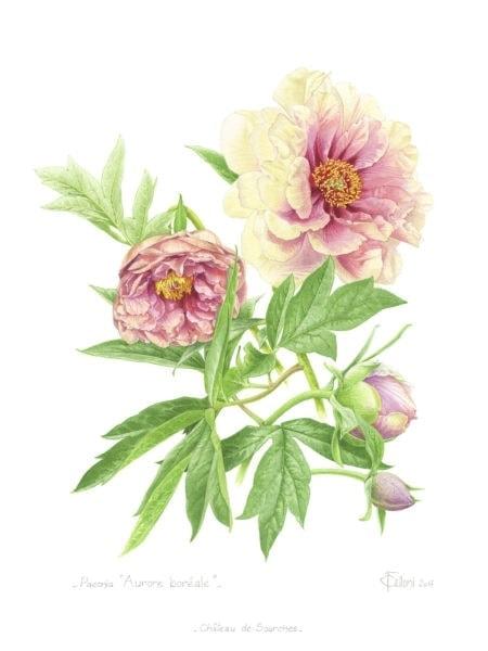 Paeonia Aurore Boréale