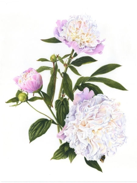 Paeonia Duc de Wellington