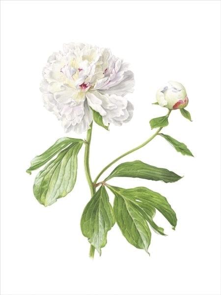 Paeonia Madame de Verneville