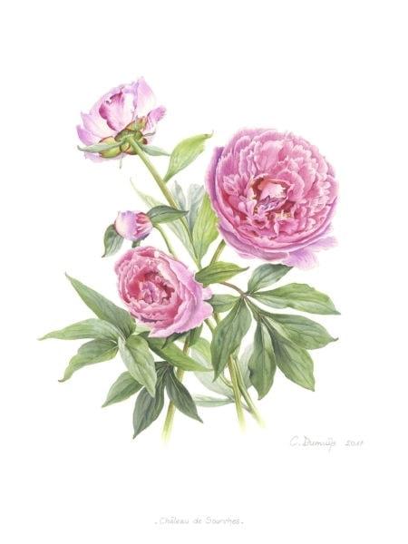 Paeonia Suzette